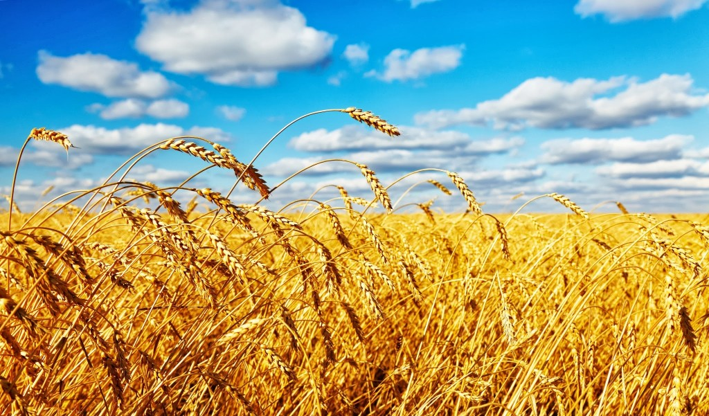 Wheat field and ripe ear close up